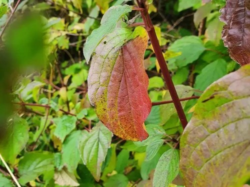 single red leaf amongst green