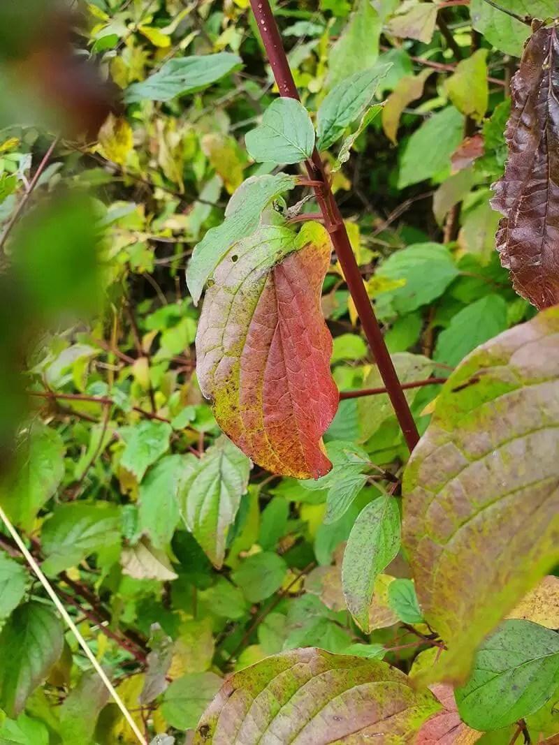 single red leaf amongst green