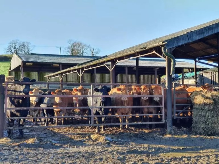 cows outside the barn in sunlight