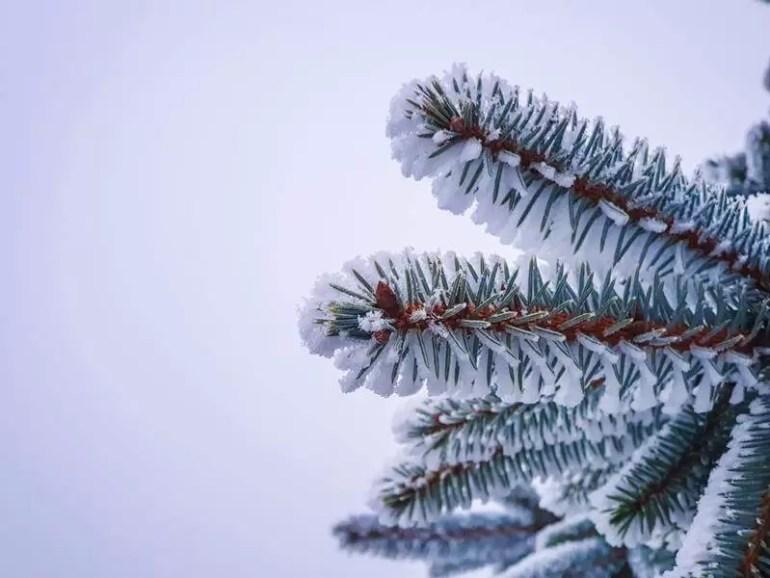 fir tree close up branch