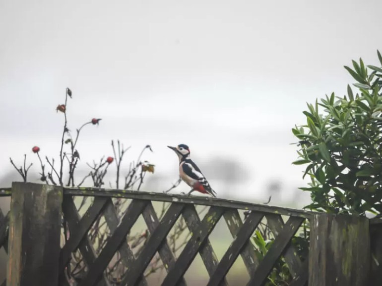 greater spotted woodpecker on garden fence