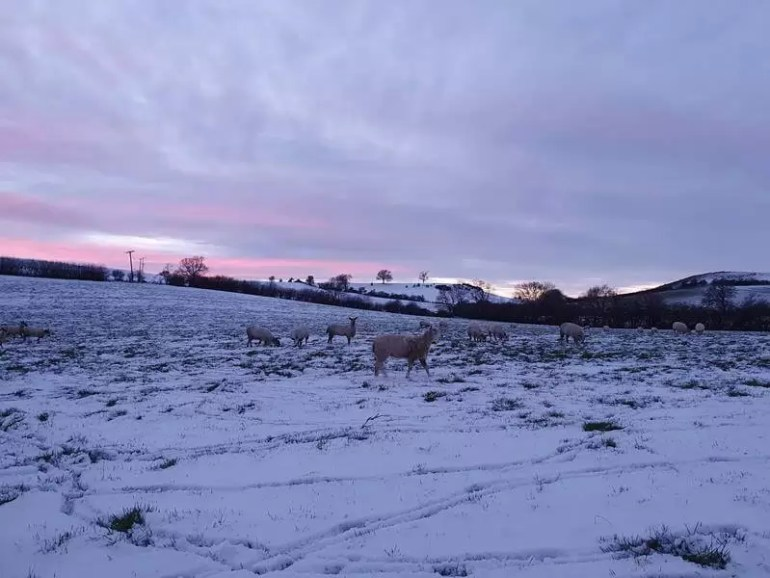 sunset pinks and purple sky with sheep in snowy field