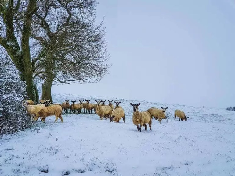 view of flock of sheep on snowy field with trees at the left