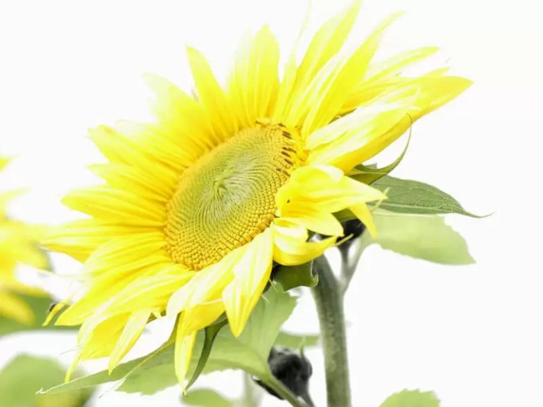 single over exposed sunflower
