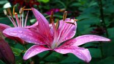 single-rosafarbene-lilie-mit-schuld-auf-der-lilie-blume,1920x1080,54810