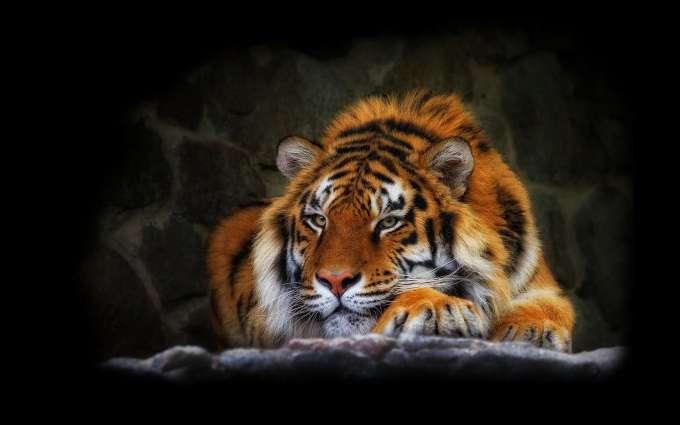 Cute-Tiger-HD-Wallpaper.jpg