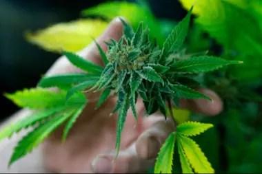 El cannabis es la planta más antigua cultivada en el lejano oriente, pero se sabe poco si se usaba como droga psicoactiva