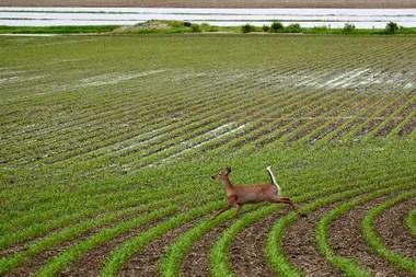 Un ciervo corre a través de un campo inundado cerca de Anderson, Iowa