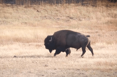Un bisonte, como el que atacó a la mujer, dentro del parque nacional Yellowstone