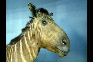La última cuaga murió en el zoológico de Artis de Ámsterdam en agosto de 1883.