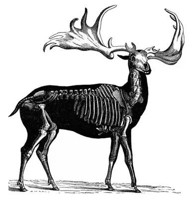 El alce irlandés era como un alce común, solo que mucho, mucho más grande.