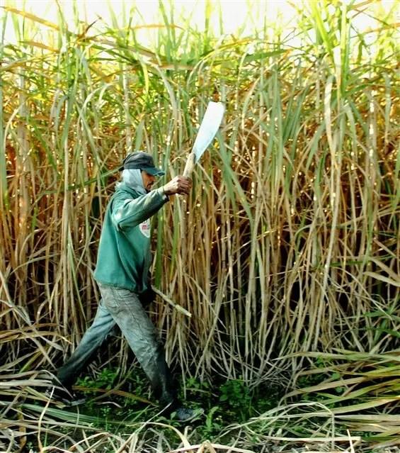 La caña, otra opción clave para la producción de etanol
