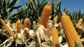 Cayeron los precios de la soja y el maíz