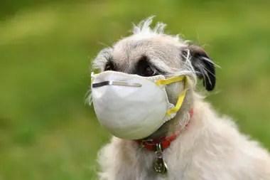 Coronavirus: en los Estados Unidos, una persona le puso un barbijo a su mascota; los perros, por su cercanía, también pueden transmitir virus a los humanos