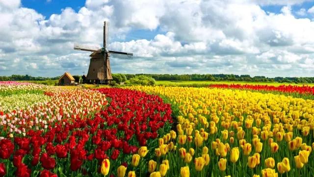Los campos de tulipanes de Holanda