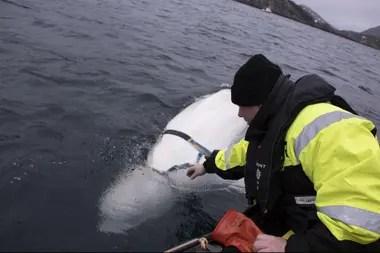 Joergen Ree Wiig, de la Directiva Noruega de Pesca, intenta alcanzar el arnés atado a una ballena beluga en la costa norte de Noruega