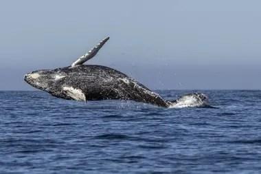 La caza comercial de ballenas llevó a los cetáceos al borde de la extinción