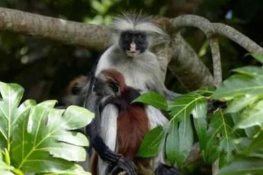 El colobo rojo de Zanzíbar es uno de los parientes más cercanos del desaparecido colobo rojo de Miss Waldron, que no ha sido visto oficialmente desde 1978