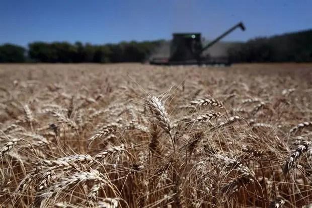 Salvo en el sudeste bonaerense, en otras regiones los números del cereal no son atractivos