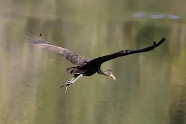 Un carau, en la reserva ecológica de Vicente López