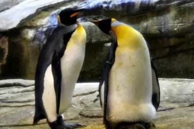 Skipper y Ping, dos pingüinos machos, cuidan el huevo abandonado por una hembra. En el zoológico de Berlín, Alemania