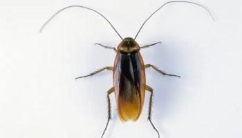 Cucarachas ¿por qué mueren patas para arriba?
