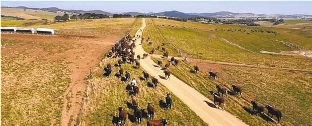 Ganaderos australianos son parte de un programa piloto que usa información recopilada por satélites de la NASA para seguir de cerca a su ganado.