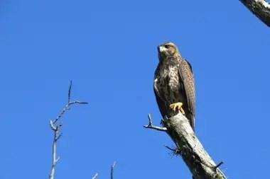 Gavilán Mixto, una de las especies de aves que se pueden encontrar en los jardines de nuestro país.