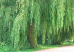 define-weeping-willow-1