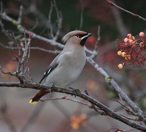 waxwing2017witangate1a