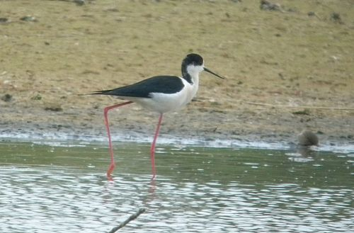 dscn8918-black-winged-stilt