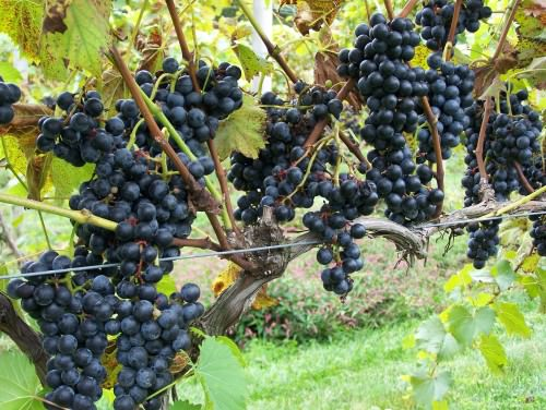 Grapes at Crossing Vineyards