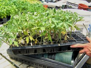 Tomato plants at Town & Country Greenhouses; photo by L. Goldman