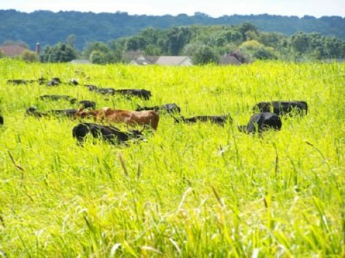 Bobolink cows in pasture; photo by L. Goldman