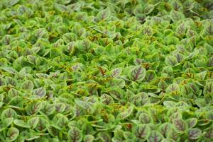 Wild sorrel from Blue Moon Acres; photo credit Lynne Goldman