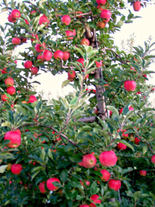 Manoff apples on tree