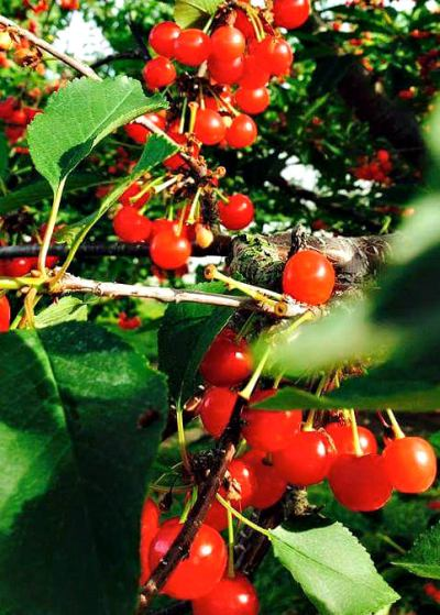 Manoff market gardens_sour cherries_crop