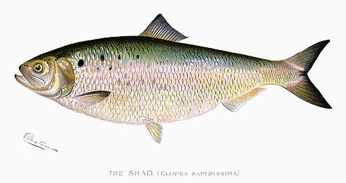 Watercolor of an American shad by Sherman F. Denton, 1904.