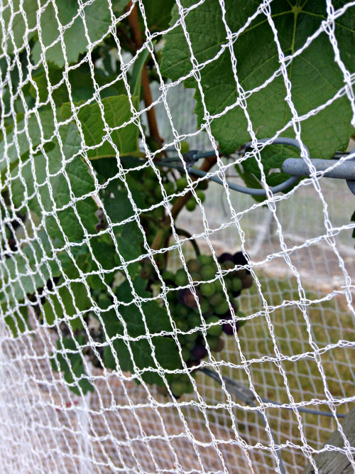 Unami Ridge_pinot noir in netting; photo credit Lynne Goldman