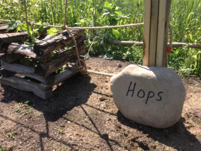Hops, Pennsbury Manor
