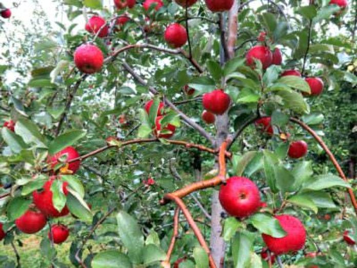 Apples, Solebury Orchards