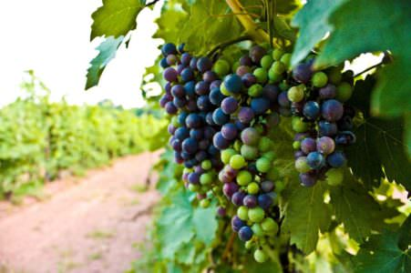 Sand Castle Winery, grapes image, food in bucks