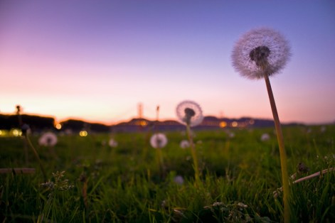 Dandylion sunset at Crissy Field