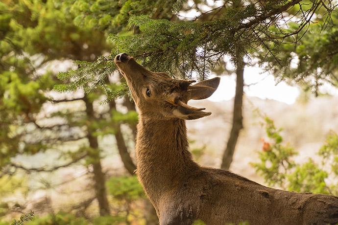 Deer Eating Twigs and Leaves