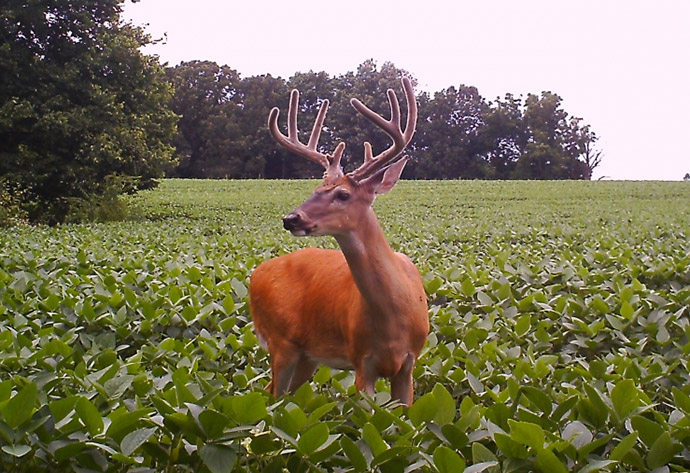 WHEN IS THE BEST TIME TO PLANT SOYBEANS FOR DEER