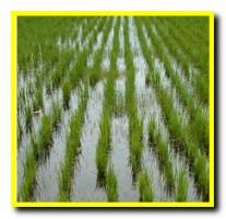 Почему после приема риса хочется больше есть. Способы обработки риса, и степень их полезности. Почему хочется риса и как его готовить