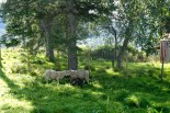 These sheep kept banging their heads together. Would be interesting to know what that means in sheep psychology...