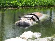 Puistossa oli hieman eksoottisempi eläin vedessä.