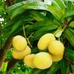 マンゴーの種捨てないで!タネから水耕栽培ができる!(水栽培編)