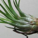 土なしで室内で育つ観葉植物!エアプラントの秘密に迫る